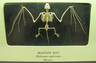 Mastiffbat
